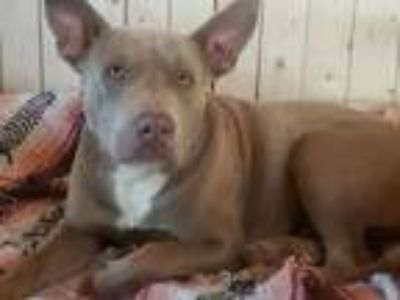 Adopt Omar a Pit Bull Terrier