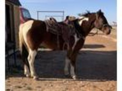 10 year old Paint Gelding