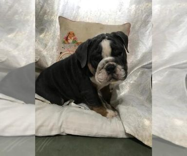 English Bulldog PUPPY FOR SALE ADN-130656 - AKC Blue Tri