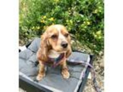 Adopt Honey a Tan/Yellow/Fawn - with White Cocker Spaniel / Mixed dog in Santee