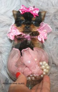 Yorkshire Terrier PUPPY FOR SALE ADN-52502 - XTRA TINY MICRO TEACUP BABY DOLL FACE YORKIE