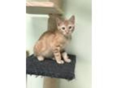 Adopt Pimento a Orange or Red Domestic Shorthair / Mixed (short coat) cat in Los