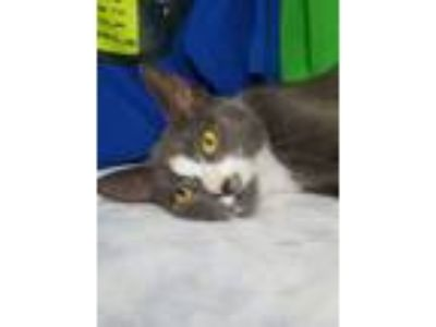 Adopt Genie a Domestic Short Hair