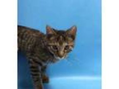 Adopt Storm a Brown or Chocolate Domestic Mediumhair / Mixed cat in St.