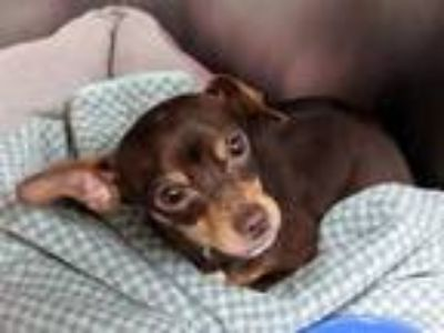 Adopt a Brown/Chocolate - with Tan Miniature Pinscher / Mixed dog in Martinez