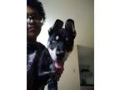 Adopt Bowser a Tricolor (Tan/Brown & Black & White) German Shepherd Dog / Husky