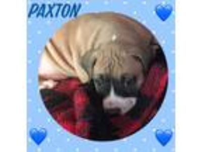 Adopt Paxton a Tricolor (Tan/Brown & Black & White) Boxer / Mixed dog in