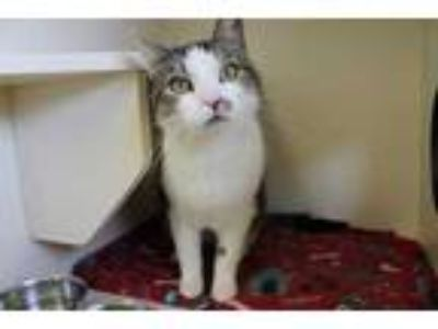 Adopt Hulk a White Domestic Shorthair / Domestic Shorthair / Mixed cat in