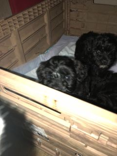 Yorkiepoo puppy for sale