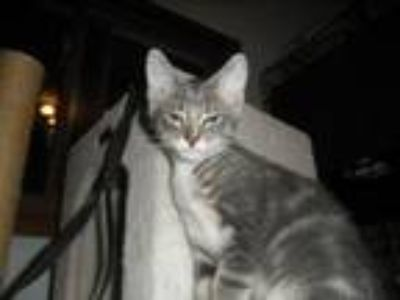 Adopt Abraham a Gray, Blue or Silver Tabby Domestic Shorthair (short coat) cat