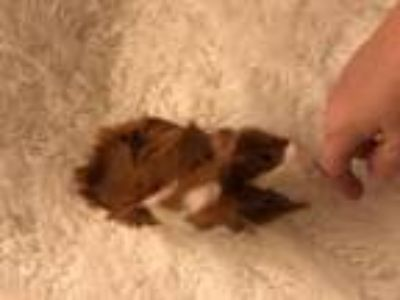 Adopt Twinkle and CC a Multi Guinea Pig (medium coat) small animal in Aurora