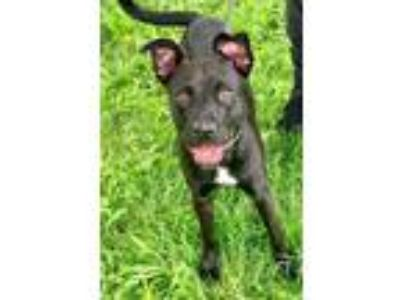 Adopt Maude a Black Pit Bull Terrier / Mixed Breed (Medium) / Mixed dog in