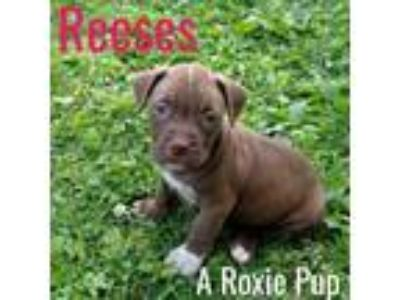 Adopt Reeses -A Roxie Pup-ADOPTION PENDING a Pit Bull Terrier