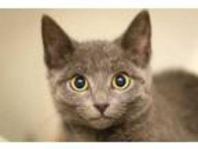 Adopt a Gray or Blue Domestic Shorthair / Mixed (short coat) cat in Long Beach