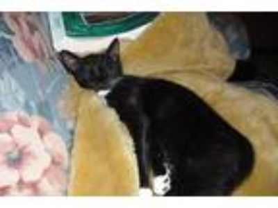 Adopt Cookie a Black & White or Tuxedo American Shorthair cat in Jacksonville