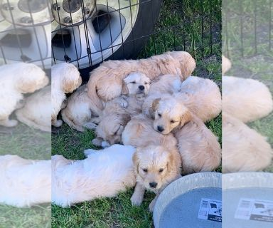 Golden Retriever PUPPY FOR SALE ADN-128621 - Golden Retriever Puppies