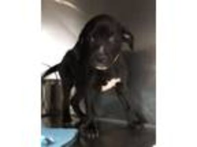 Adopt Eden a Pointer, Labrador Retriever
