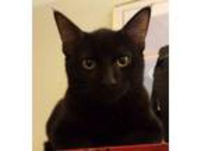 Adopt Ninja a All Black Bombay cat in Corcoran, CA (24717220)