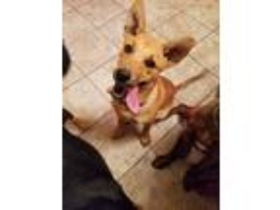 Adopt Dixie a Tan/Yellow/Fawn Terrier (Unknown Type, Medium) / Mixed dog in
