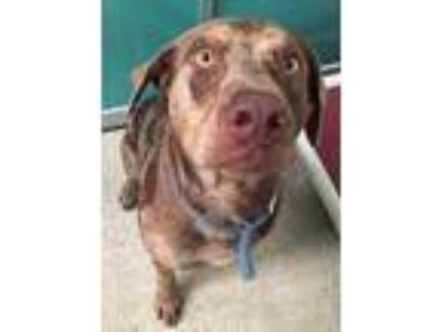 Adopt 42043236 a Red/Golden/Orange/Chestnut Catahoula Leopard Dog / Mixed dog in