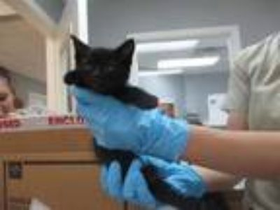 Adopt STRAY HOLD a All Black Domestic Shorthair / Mixed (short coat) cat in