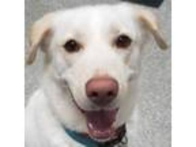 Adopt Moses a Golden Retriever, Mixed Breed