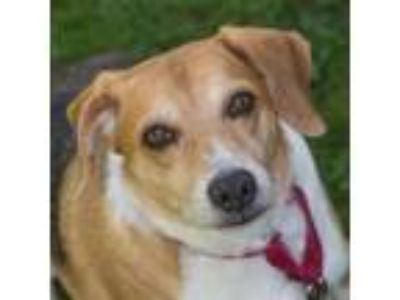 Adopt BUSTER a Tricolor (Tan/Brown & Black & White) Beagle / Mixed dog in