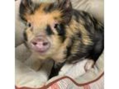 Adopt Chef Francatelli a Pig (Farm) farm-type animal in Dallas, TX (25203233)