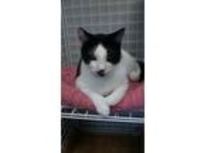 Adopt Pippy a Domestic Short Hair