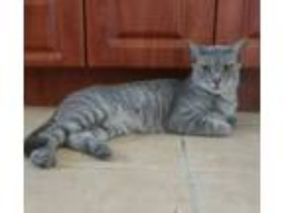 Adopt Priscilla a Gray, Blue or Silver Tabby Domestic Shorthair (short coat) cat