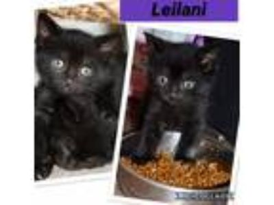 Adopt Leilani a Black (Mostly) Domestic Shorthair (short coat) cat in Toms
