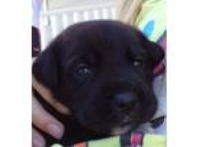 Adopt Maggie a Black Labrador Retriever / German Shepherd Dog / Mixed dog in