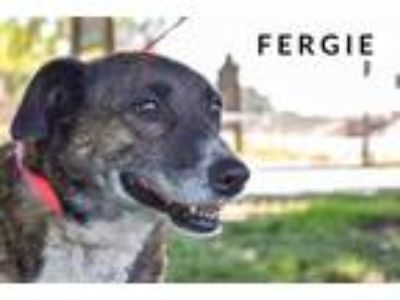 Adopt Fergie a Brown/Chocolate Shepherd (Unknown Type) / Border Collie / Mixed