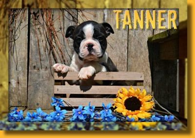 Tanner Male Boston Terrier AKC