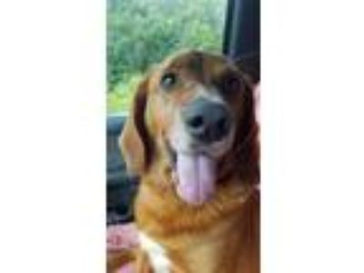 Adopt Sunshine a Golden Retriever, Hound