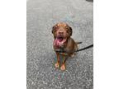 Adopt Roscoe a Brown/Chocolate - with Tan Labrador Retriever / Terrier (Unknown