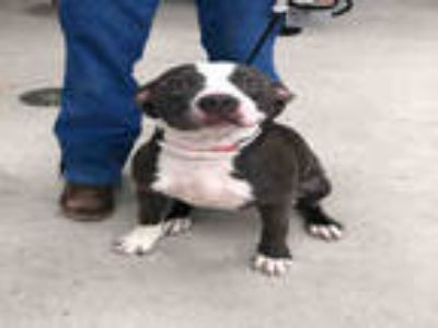 Adopt a Gray/Silver/Salt & Pepper - with White American Pit Bull Terrier / Mixed