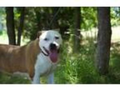 Adopt Twinkie a Tan/Yellow/Fawn American Staffordshire Terrier / Mixed dog in