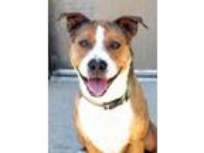 Adopt Rodney a Brown/Chocolate American Pit Bull Terrier / Mixed dog in South