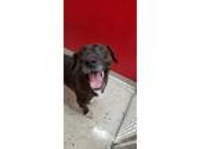 Adopt Baxter a Brindle - with White Boxer / Pit Bull Terrier / Mixed dog in