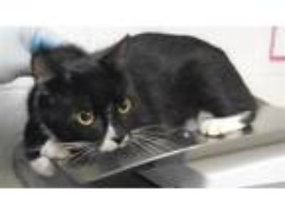 Adopt Bentley/ Mr Cat a Domestic Short Hair