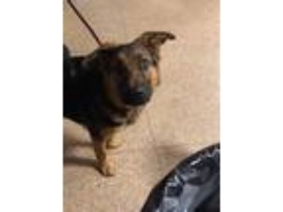 Adopt Winston a German Shepherd Dog / Mixed dog in Laingsburg, MI (25206411)