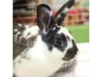 Adopt BB a American rabbit in Asheville, NC (25581279)