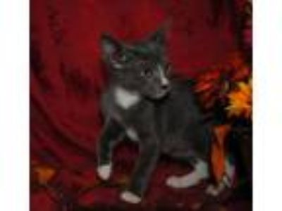 Adopt SALLY a Domestic Short Hair