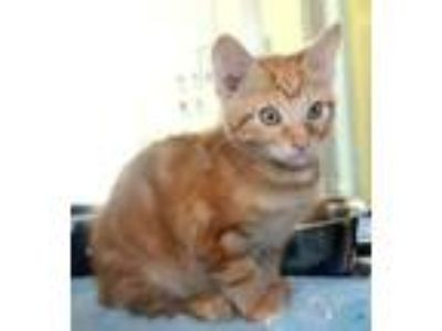 Adopt Willow a Orange or Red American Bobtail / Domestic Shorthair / Mixed cat