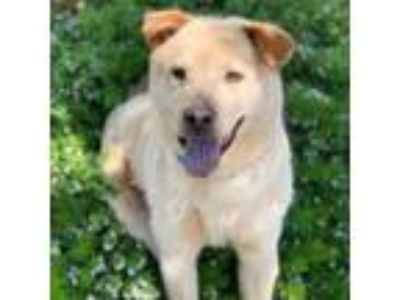 Adopt Rupert a Tan/Yellow/Fawn Labrador Retriever / Chow Chow / Mixed dog in San