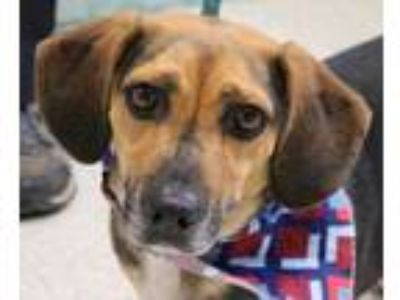 Adopt Oscar a Black Basset Hound / Beagle / Mixed dog in Wenatchee