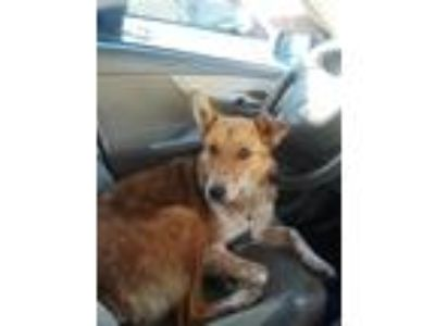Adopt Juke a Tan/Yellow/Fawn - with White Australian Shepherd / Mixed dog in