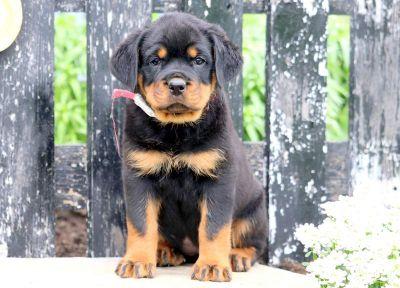 Rottweiler PUPPY FOR SALE ADN-79219 - Rottweiler Puppy for Sale