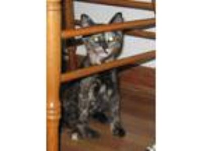 Adopt Pixie a Tortoiseshell Domestic Mediumhair / Mixed (medium coat) cat in